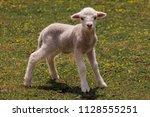 baby sheep   small fluffy... | Shutterstock . vector #1128555251