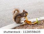 eastern gray squirrel  sciurus... | Shutterstock . vector #1128558635