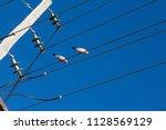 two curious  australian pink... | Shutterstock . vector #1128569129