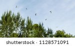 swallow tailed kites flock in... | Shutterstock . vector #1128571091