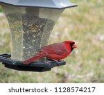 A Male Cardinal Bird Tilts The...