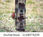 a male house finch finds food...   Shutterstock . vector #1128574235