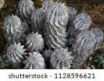 Spurge 'snowflakes' Cactus
