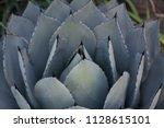 agave azul blue agave plant   Shutterstock . vector #1128615101