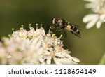 a pretty hoverfly  leucozona... | Shutterstock . vector #1128654149