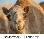 Closeup Portrait Of Camel