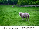 two mature sheep pasturing on... | Shutterstock . vector #1128696941