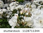 Stock photo field of white roses 1128711344