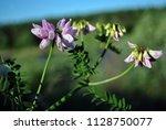 securigera varia  coronilla...   Shutterstock . vector #1128750077