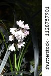 flowers of ophiopogon... | Shutterstock . vector #1128757901