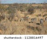 kruger national park  south... | Shutterstock . vector #1128816497