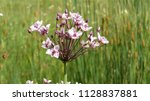 butomus umbellatus is the old... | Shutterstock . vector #1128837881