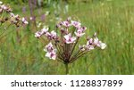 butomus umbellatus is the old... | Shutterstock . vector #1128837899
