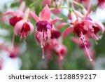Filigree Blooming Fuchsia