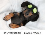 Stock photo dog dachshund black and tan relaxed from spa procedures on face with cucumber covered with a 1128879314