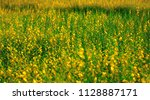 crotalaria juncea  sunhemp is a ... | Shutterstock . vector #1128887171
