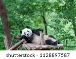 giant panda breeding base in... | Shutterstock . vector #1128897587