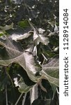 silver maple. tree leaves.  | Shutterstock . vector #1128914084