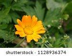 Orange Pot Marigold Or Ruddles...