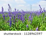 Small photo of Lavender flowers image