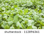 Chinese Bok Choi In The Farm...