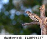 female house finch   photograph ... | Shutterstock . vector #1128996857