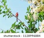 male house finch on branch  ... | Shutterstock . vector #1128996884