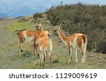 guanacos stay on the road.... | Shutterstock . vector #1129009619