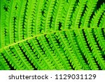 green bracken lush fern growing ... | Shutterstock . vector #1129031129