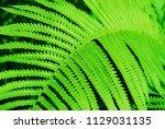 green bracken lush fern growing ... | Shutterstock . vector #1129031135