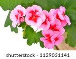 balmy geranium flower  isolated ... | Shutterstock . vector #1129031141