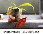 beautiful pitcher carnivorous...   Shutterstock . vector #1129097555