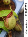 beautiful pitcher carnivorous...   Shutterstock . vector #1129097579