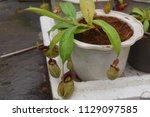 beautiful pitcher carnivorous...   Shutterstock . vector #1129097585
