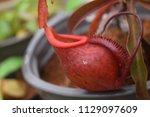 beautiful pitcher carnivorous...   Shutterstock . vector #1129097609