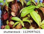 beautiful pitcher carnivorous...   Shutterstock . vector #1129097621