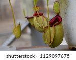 beautiful pitcher carnivorous...   Shutterstock . vector #1129097675