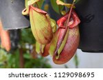 beautiful pitcher carnivorous...   Shutterstock . vector #1129098695