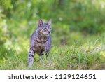 beautiful grey cat hunting in... | Shutterstock . vector #1129124651