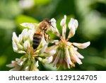 honey bee in clover flower | Shutterstock . vector #1129124705