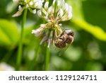 honey bee in clover flower | Shutterstock . vector #1129124711