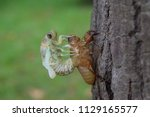 insect molting cicada on tree... | Shutterstock . vector #1129165577