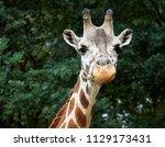 close view of a giraffe ... | Shutterstock . vector #1129173431