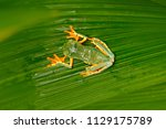 cruziohyla calcarifer  golden... | Shutterstock . vector #1129175789
