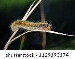 lasiocampa trifolii  grass...   Shutterstock . vector #1129193174