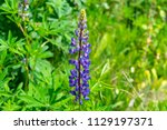 violet field flower of a lupine.... | Shutterstock . vector #1129197371