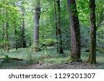 summertime deciduous primeval... | Shutterstock . vector #1129201307
