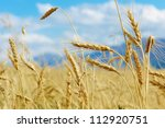 close up of ripe wheat ears... | Shutterstock . vector #112920751