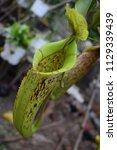 beautiful pitcher of...   Shutterstock . vector #1129339439