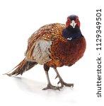Wild Beautiful Pheasant...